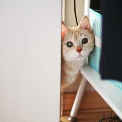元野良猫/茶トラ/保護猫/ペット/ペット仲間募集/猫/... ひょっこり福ちゃん