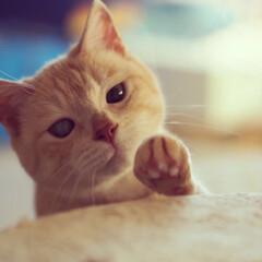 茶トラ/耳が聞こえない猫/元野良猫/保護猫/猫/ペット/... 福ちゃんの前には大好きなウマウマが…。