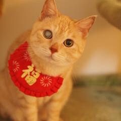 茶トラ/元野良猫/保護猫/あけおめ/ペット/ペット仲間募集/... あけましておめでとうにゃ~(=^・ω・^…
