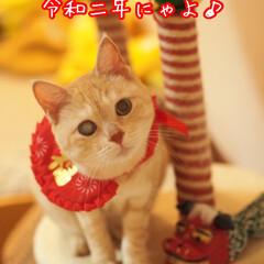 ペット/ねこ/耳が聞こえない猫/元野良猫/茶トラ/お正月2020 素敵な一年でありますように…(人•ᴗ•♡)