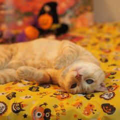 耳が聞こえない猫/元野良猫/茶トラ/ハロウィン2019 ゴロニャンしてるにゃよ♪