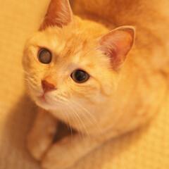 茶トラ/にゃんこ/保護猫/元野良猫/ペット/ペット仲間募集/... 飼い主を監視中の福ちゃん