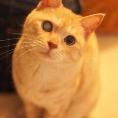 保護猫/耳が聞こえない猫/茶トラ/元野良猫/ペット仲間募集/猫/... 福にゃ♪