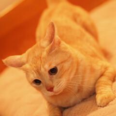 茶トラ/にゃんこ/保護猫/元野良猫/ペット/ペット仲間募集/... イカ耳福ちゃん