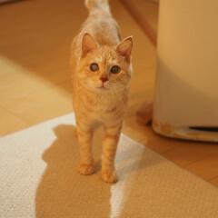 茶トラ/耳が聞こえない猫/保護猫/ペット仲間募集/猫/にゃんこ同好会/... 福にゃ♪(1枚目)