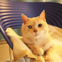 茶トラ/元野良猫/保護猫/にゃんこ/ペット/猫/... 暇そうな福ちゃん