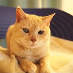茶トラ/元野良猫/保護猫/にゃんこ/ペット/猫/... 暇そうな福ちゃん(2枚目)