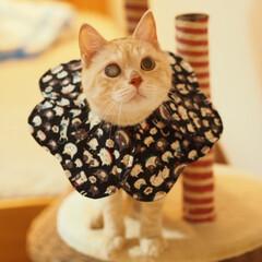 ペット/猫/にゃんこ/福ちゃん エリカラ生活してるにゃよ♪(1枚目)