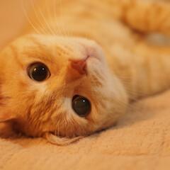 にゃんこ/茶トラ/元野良猫/保護猫/ペット/ペット仲間募集/... ゴロゴロしてる福ちゃん