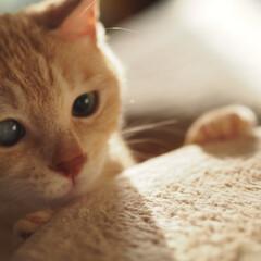 茶トラ/保護猫/元野良猫/にゃんこ/ペット/ペット仲間募集/... 何かをじぃ〜っと見てる福ちゃん