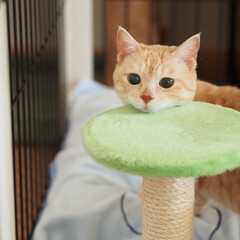 保護猫/元野良猫/茶トラ/ねこ/にゃんこ/フォロー大歓迎/... じぃ〜っと見つめる福ちゃん