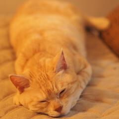 茶トラ/耳が聞こえない猫/元野良猫/保護猫/ペット/ペット仲間募集/... スヤスヤ福ちゃん💤