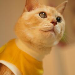 抗がん剤治療/放射線治療/皮膚型リンパ腫/元保護猫/福ちゃん 福ちゃんは皮膚型のリンパ腫と闘ってます。…(1枚目)