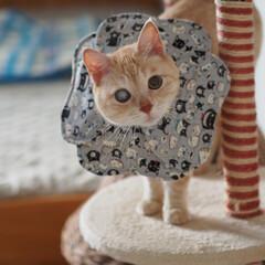 ペット/猫/にゃんこ/手作りエリカラ/手作り 福の新しいエリカラにゃよ♪(2枚目)