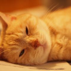ねこ/元野良猫/保護猫/にゃんこ/茶トラ/ペット/... 睡魔に負けそうな福ちゃん