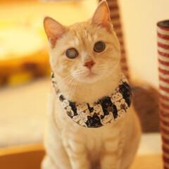 右目失明/茶トラ/耳が聞こえない猫/元野良猫/フォロー大歓迎/にゃんこ同好会/... 手作りのスタイとバンダナにゃ♪