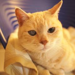 にゃんこ/元野良猫/保護猫/茶トラ/ペット/ペット仲間募集/... まったり中の福ちゃん