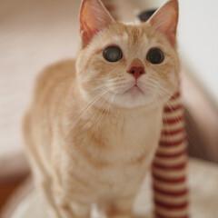 にゃんこ/茶トラ/保護猫/元野良猫/ペット仲間募集/猫/... 福ちゃんどこ見てる?
