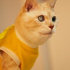 抗がん剤治療/放射線治療/皮膚型リンパ腫/元保護猫/福ちゃん 福ちゃんは皮膚型のリンパ腫と闘ってます。…(2枚目)