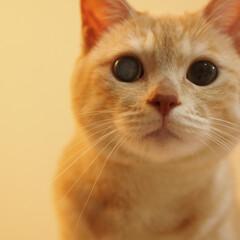 にゃんこ/元野良猫/保護猫/茶トラ/ペット/ペット仲間募集/... アップな福ちゃんです