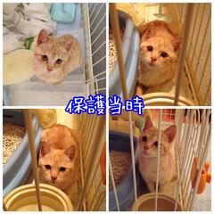 保護猫/元野良猫/耳が聞こえない猫/茶トラ/ペット仲間募集/猫/... 福ちゃん家の子記念日