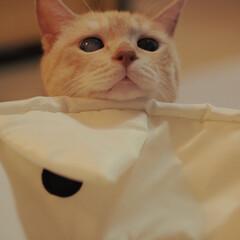 にゃんこ/保護猫/元野良猫/茶トラ/ペット/猫/... ひょっこり福ちゃん(1枚目)