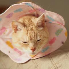 手作りエリカラ/ペット/猫/にゃんこ/福ちゃん 福は男の子なのに…。 ピンク色のエリカラ…(1枚目)
