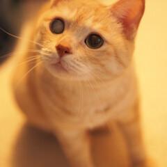 耳の聞こえない猫/ペット/猫/元野良猫/福ちゃん こちらを見つめてる福ちゃん