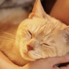 にゃんこ/保護猫/元野良猫/茶トラ/ペット/猫/... 腕枕で眠る福ちゃん