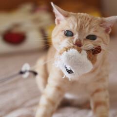 保護猫/元野良猫/にゃんこ/茶トラ/ペット/ペット仲間募集/... 大好きなネズミさんのオモチャをゲットした…
