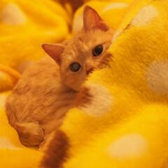 にゃんこ/茶トラ/元野良猫/ペット/ペット仲間募集/猫/... こっちを見てる福ちゃん