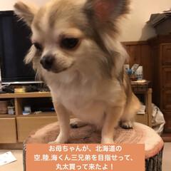 スツール/ロングコートチワワ/ペット/チワワ/犬と暮らす/ニトリ 新しいわんこグッズ🐶 リビングのソファー…