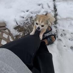 大雪/ちわわ/ロングコートチワワ/犬のいる暮らし 大雪☃️❄️九州では、珍しい積雪量😳 私…