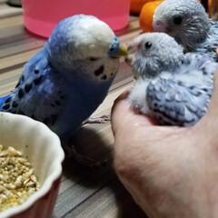 小鳥/セキセイインコヒナ/セキセイインコ/ペット エサあげてる子は、ヒナ達の親じゃない😆そ…