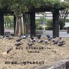文字遊び/鳩/公園/買い物時 おはよう御座います☁️ この場所は高い木…(1枚目)