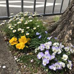 花/鳥/桜満開 おはようございます☀ 自宅裏手の桜並木で…(4枚目)