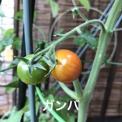 暮らし/住まい/ベランダ/栽培/野菜 おはようさんです☁️〜☔️の予報 我が家…(3枚目)