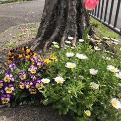 花/鳥/桜満開 おはようございます☀ 自宅裏手の桜並木で…(5枚目)