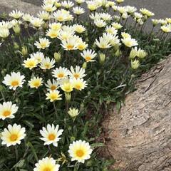 母の日プレゼント/団地内/ダスキン配達日/暮らし フォット1 道路沿いの木の脇のディモルフ…