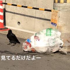 自宅から100m程の所/カラス/ゴミ出しの日/暮らし 昨日ゴミ出しの日で この日は必ずカラスが…