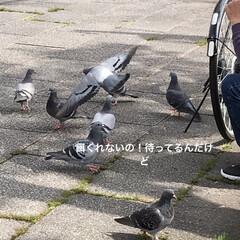 鳩でお遊び/鳩とおじさん/公園/買い物時 おはようございます☀ おじさんが ちょっ…(1枚目)