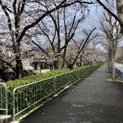 桜並木/暮らし 🏠自宅から歩いて1〜2分の所の桜並木です…