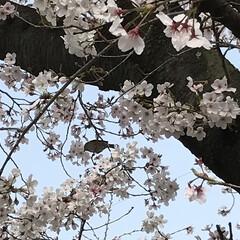 花/鳥/桜満開 おはようございます☀ 自宅裏手の桜並木で…(2枚目)