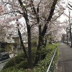 花/鳥/桜満開 おはようございます☀ 自宅裏手の桜並木で…(1枚目)