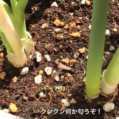 ネギ/蜂🐝/野菜/ベランダ/住まい おはようございます☀ 昨日ベランダで野菜…(2枚目)