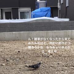 畑/鳩/住まい/暮らし/ガーデニング 1  自宅のポーチェラカ 蝶🦋って綺麗に…(3枚目)