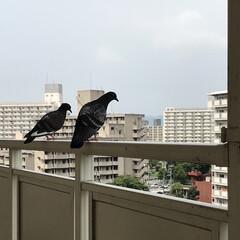 鳩/ダスキン配達日/暮らし 昨日3回目の配達日で マンション8階のお…