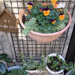 玄関外/住まい 一月の花達、ビオラが寒いなか、咲いてきて…