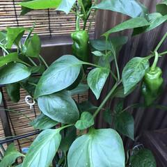 ベランダ/野菜栽培/暮らし/住まい ピーマン1mくらい伸びて やっと出来てき…