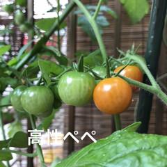 暮らし/住まい/ベランダ/栽培/野菜 おはようさんです☁️〜☔️の予報 我が家…(2枚目)